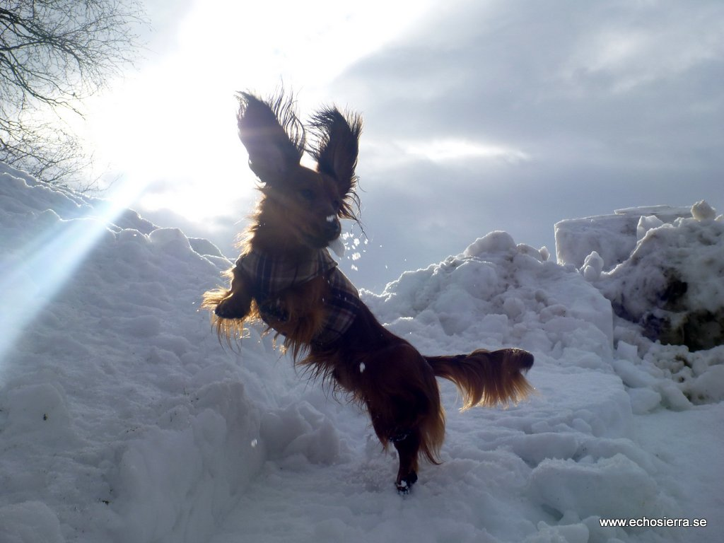Flying dachshund